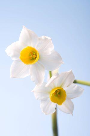 Narcissus 写真素材