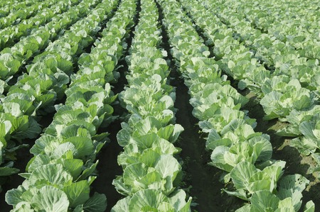 leaf vegetable: Cabbage field Stock Photo