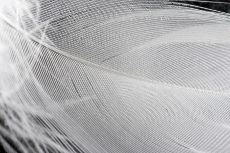 living organism: Feather