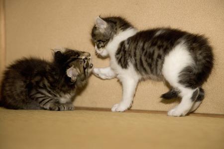 kin: Kitten