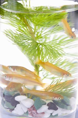 waterweed: Medaka, oryzias latipes