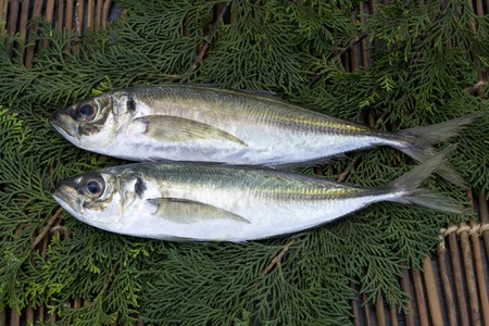 living organisms: Horse mackerel