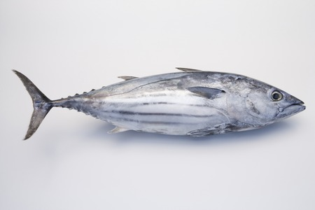 stuff fish: Skipjack tuna