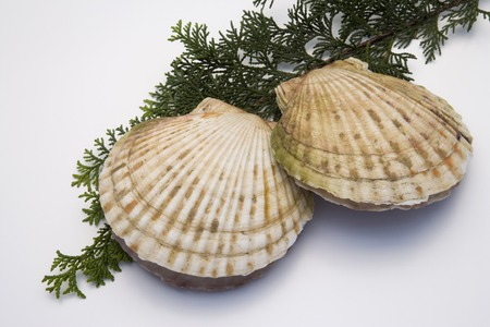 living things: Scallops Stock Photo