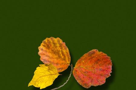 witch hazel: Autumn leaves