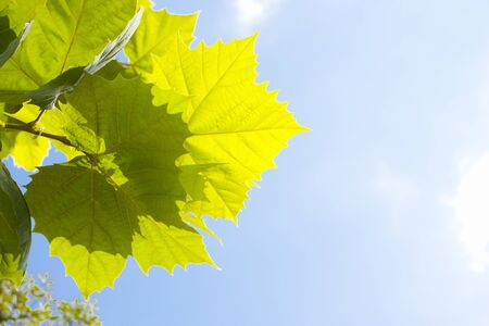 sycamore leaf: Leaves of sycamore
