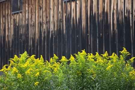 goldenrod: Fence of Elephant and goldenrod Stock Photo
