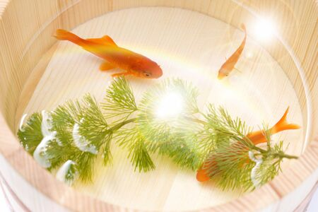 fresh water aquarium fish: Goldfish