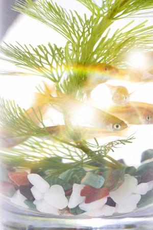 fresh water aquarium fish: Medaka, oryzias latipes
