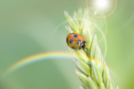septempunctata: Ladybug