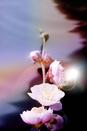 梅の花 写真素材