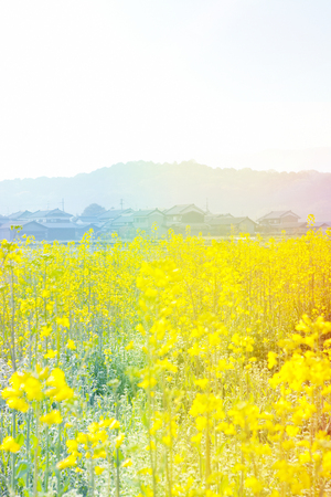 コグ山と天の菜の花