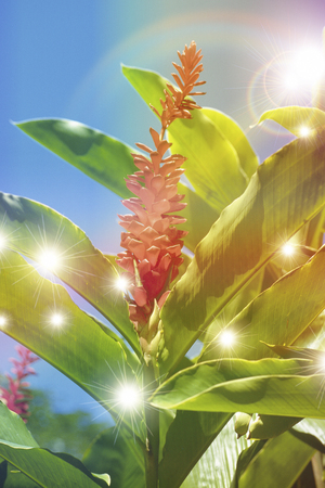 ginger flower plant: Ginger Flower