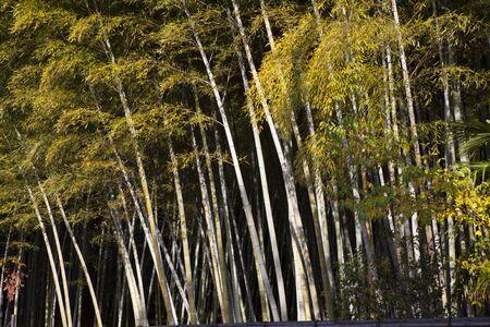 arboleda: Bamb� Grove Foto de archivo