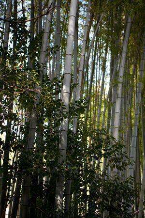 arboleda: Bambú Grove Foto de archivo