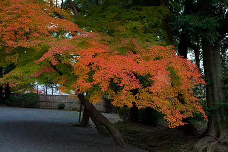 immobility: Autumn leaves of Miidera