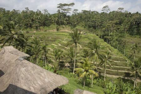 rice terraces: Rice terraces of Bali island Stock Photo