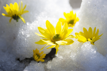 Thaw and chrysanthemum