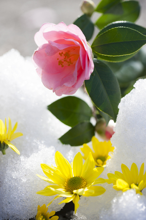 Thaw and Camellia flower