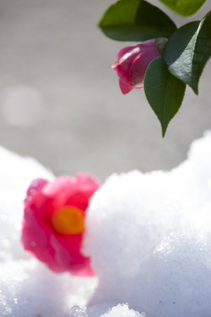 thaw: Thaw and Camellia flower