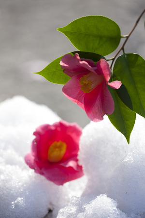 haiku: Thaw and Camellia flower