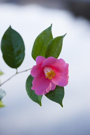 haiku: Camellia