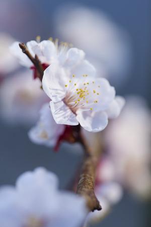 haiku: White plum