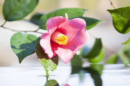 haiku: Snow and water and Camellia flower