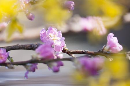 haiku: Peach Blossom