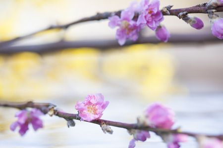 quietude: Peach Blossom