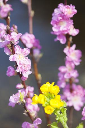 haiku: Peach blossoms and rape