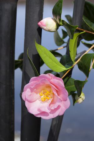 haiku: Camellia and charcoal Stock Photo