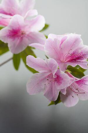 azalea: Azalea