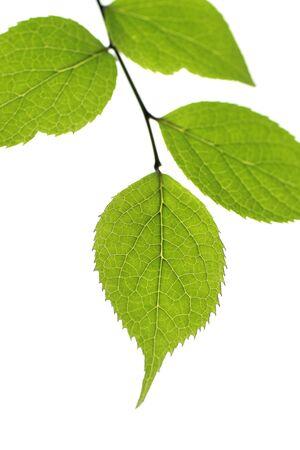 betula: Betula ermanii
