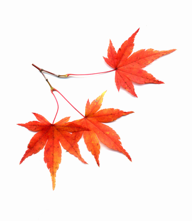japanese maples: Japanese maple red leaves