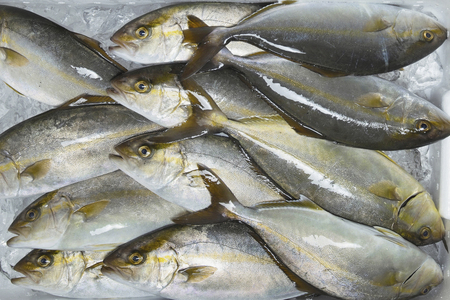 greater: Greater amberjack Stock Photo