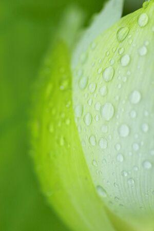 nelumbo: Leaf of Nelumbo nucifera