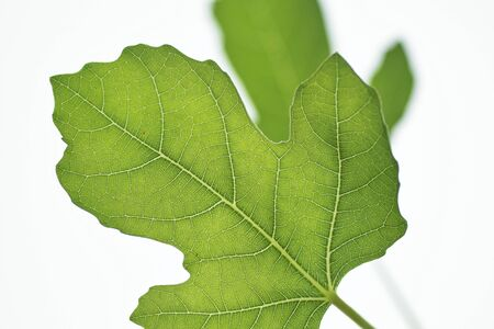 fig leaf: Fig leaf Stock Photo