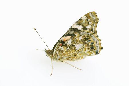 nymphalidae: Nymphalidae