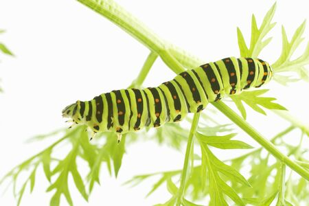 larva: Larva of the common yellow swallowtail