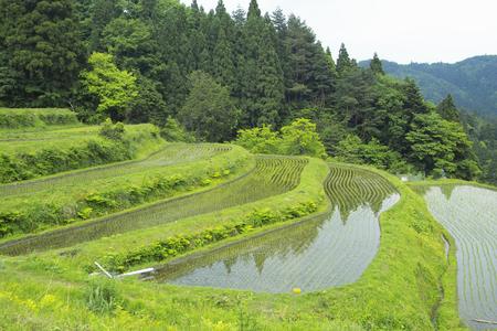 terraced: Terraced vineyards