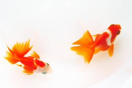 living organism: Goldfish