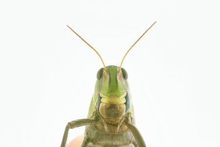 feeler: Locusta Migratoria