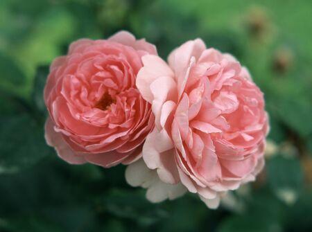 rin: Rose