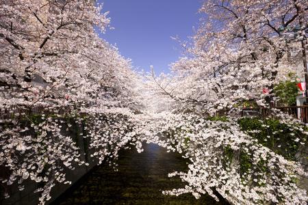 Meguro River cherry trees