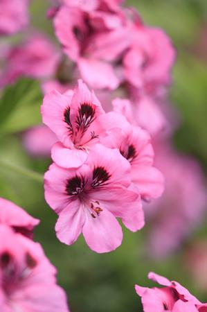 Geranium Фото со стока