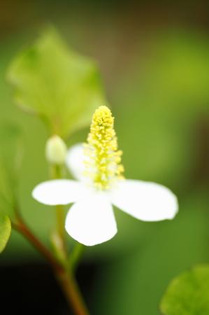 herba: Flowers of houttuynia cordata