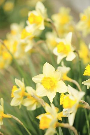vertical orientation: Narcissus Stock Photo