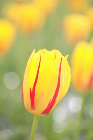 color photographs: Tulip