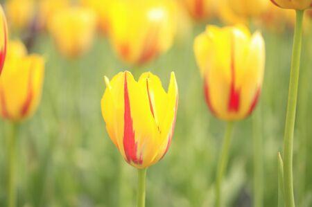 vertical orientation: Tulip